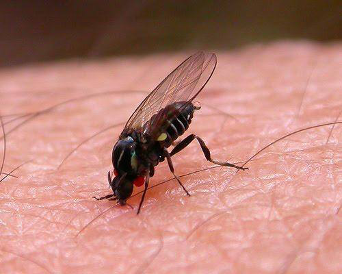 mosca-negra