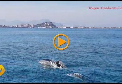 Nuevo espectáculo de delfines frente a la costa de Dénia (vídeo)