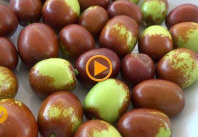 ¿Has probado los jínjoles o azufaifas de la marina alta? – Vídeo